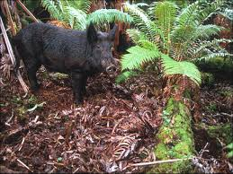 native hawaiian plants dr creighton m litton u003e research u003e impact of non native ungulates