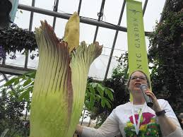 sprout the corpse flower finally blooms starts stinking glencoe