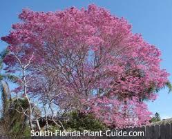 tabebuia tree