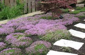 choose creeping thyme for a colourful cushion underfoot