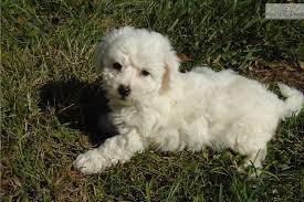 bichon frise nashville ramsey bichon frise puppy for sale near charlottesville virginia