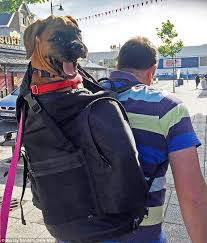 boxer dog 10 months two stone boxer carried in devon owner u0027s backpack when she refused