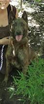 belgian shepherd k9 77 best 187 kennels dutch shepherds u0026 belgian malinois images on