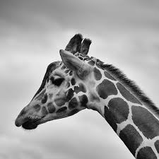 giraffe pictures download free images on unsplash