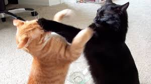 Cat Fight Meme - epic cat fight compilation youtube
