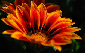 Pretty Orange 864001 Orange Flowers Hd Wallpapers Flowers Backgrounds