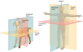 Human Anatomy Planes Of The Body Animal Form And Function Boundless Biology