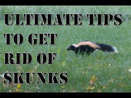 How To Get Rid Of Raccoons In Backyard How To Get Rid Of Skunks 9 Steps With Pictures Wikihow