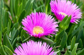 images of plants growing ice plant flowers u2013 how to grow a hardy ice plant