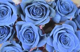 white and blue roses 11 color meanings to help you the bouquet