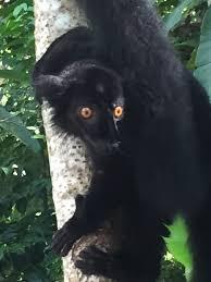 madagascar native plants eulemur macaco u2013 aka black lemur on madagascar round the world