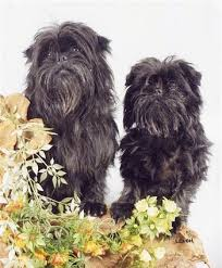 affenpinscher white affenpinscher dog breed information and pictures