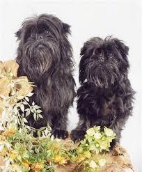 affenpinscher brussels griffon rescue affenpinscher dog breed information and pictures
