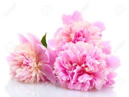 Peonies Flower Pink Peonies Flowers Isolated On White Stock Photo Picture And