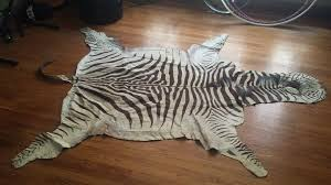 authentic zebra skin rug over 18 only endangered species wild