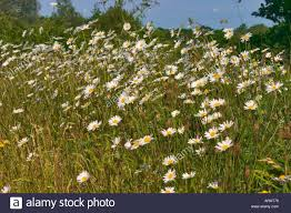 ox eye daises flowering on bank in june surrey england stock photo