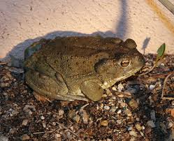 How To Get Rid Of Cane Toads In Backyard Sonoran Desert Toad Bufo Alvarius The Firefly Forest