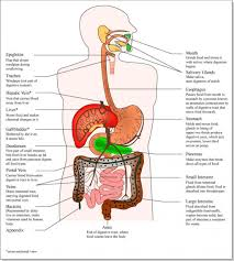 mouth all part name diagram digestion wikipedia anatomy inner body