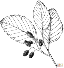 alder leaves coloring page free printable coloring pages