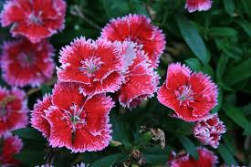sweet william flowers file sweet william flowers digon3 jpg wikimedia commons