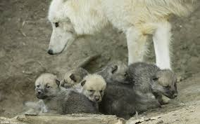 white wolf arctic wolves born in austria