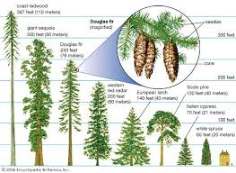 40 meters to feet forestry learning definition of conifer coniferous forest