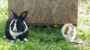post pictures of your rabbits guinea pigs backyard chickens