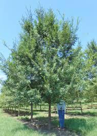 overcup oak shade trees pinterest