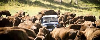 South Dakota wildlife tours images Buffalo safari jeep tours black hills badlands south dakota jpg