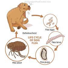 Fleas And Hardwood Floors - get rid of fleas