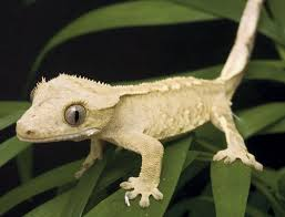 Seeking Lizard Cast Keeping And Crested Geckos