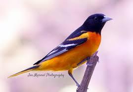 Backyard Wild Birds by Tips To Attract Wild Birds To Your Backyard Become A Bird Watcher