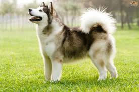 american eskimo dog giving birth learning more about the inuit dog breeds pets4homes