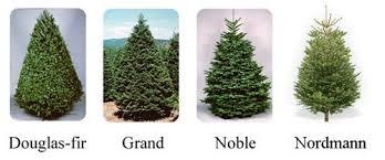 noble fir christmas tree grantville allied gardens kiwanis international