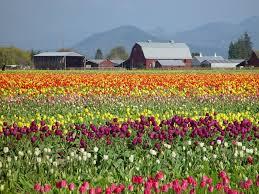 flower garden in amsterdam check out asia u0027s largest tulip garden in srinagar in full bloom