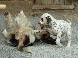 breeders akc registered dalmatian puppies caprilli dalmatians ca