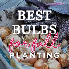 best bulbs for fall planting daily mom