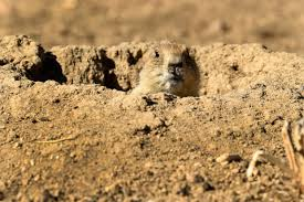 target in silverthorne co black friday hours prairie dog towns in colorado cover twice the acreage researchers