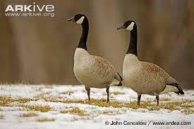 canada goose black friday canada goose videos photos and facts branta canadensis arkive