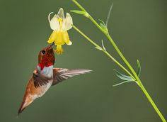 where do hummingbirds nest i have a couple of anna u0027s hummingbirds