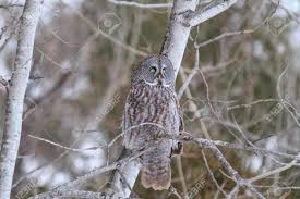 great grey owl in a tree stock photo picture and royalty free