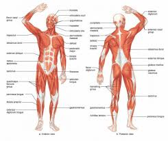 Directional Terms Human Anatomy Anatomical Terms Body Parts The Language Of Anatomy Anatomical