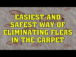 How Long Do Fleas Live In Carpet How To Get Rid Of Fleas In Carpet Easiest U0026 Safest Way Youtube