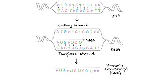 Dna Structure Worksheet Nucleic Acids Article Khan Academy