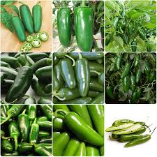 non gmo home 200pcs jalapeno pepper seed organic spicy mexican