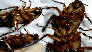 get rid of cockroaches from your homes forever youtube