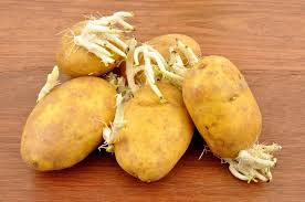 cuisiner la pomme erreur 6 cuisiner des pommes de terre germées 6 erreurs à éviter