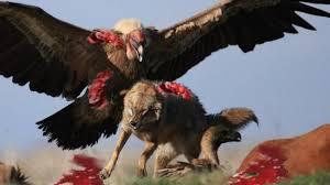 elephant vs lions attack vs elephant eagle vs wolf snake