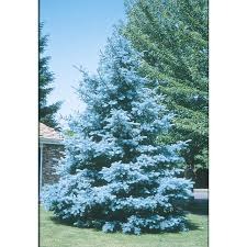 blue spruce trees shop 10 25 gallon bacheri blue spruce feature tree lw02136 at