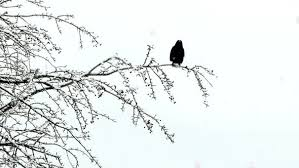 black on snowy tree by videomagus videohive